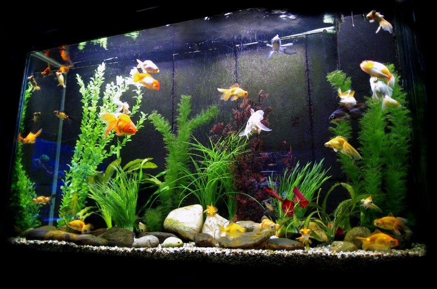 Goldfish Aquarium Related Keywords & Suggestions - Goldfish Aquarium ...