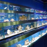 Shop Floor African Cichlids