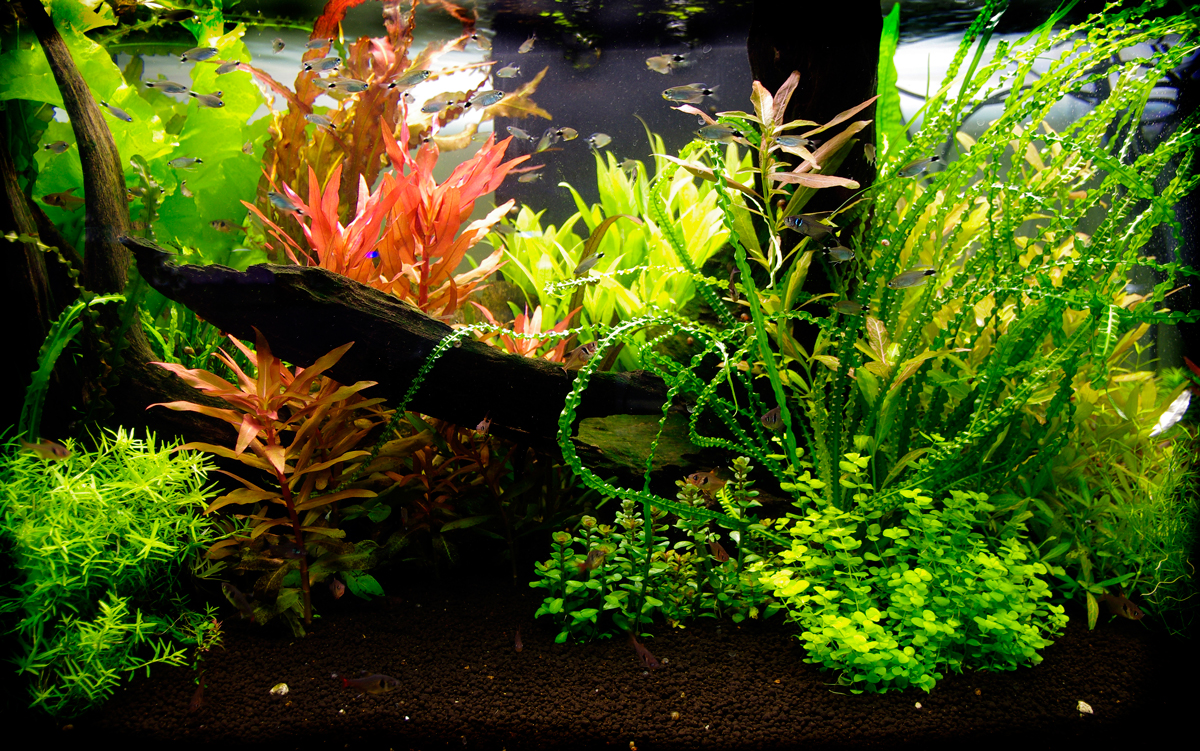 Tropical fish for sale online freshwater aquarium fish for Aquarium fish online