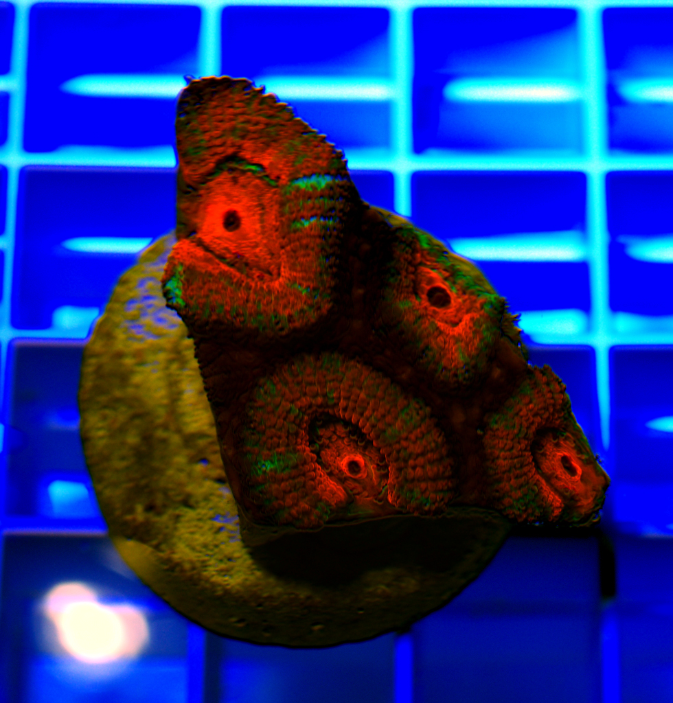 Acan Brain Coral-Acanthastrea lordhowensis-Red-101