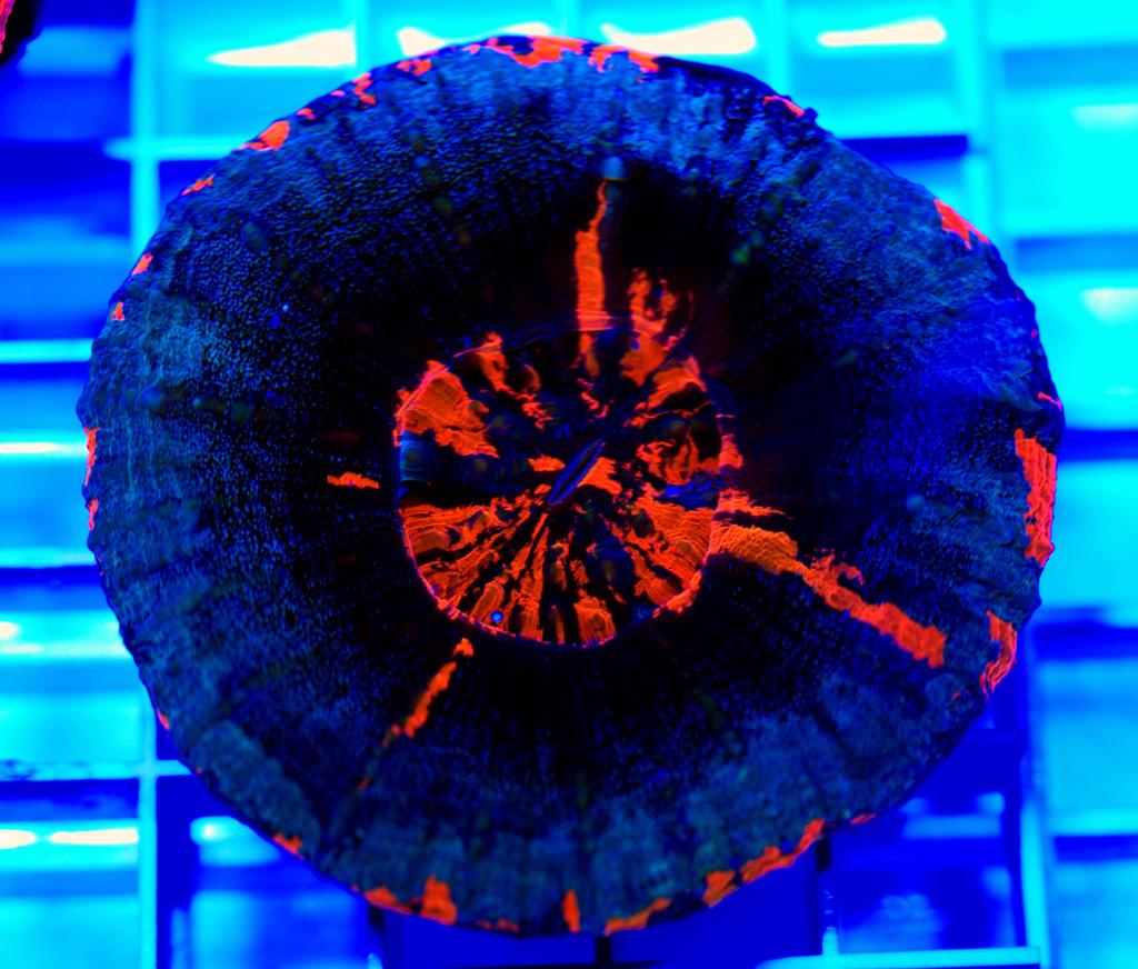 Doughnut Coral-Scolymia australis-001
