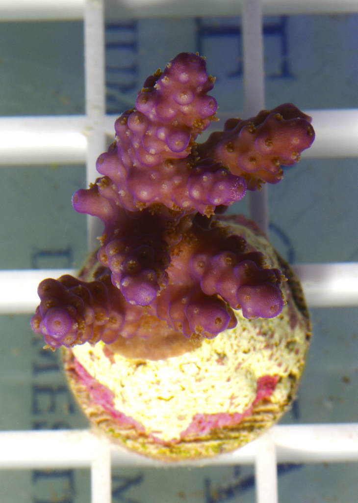 acropora-valida-cultured-frag-233
