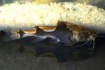 Bee-Catfish