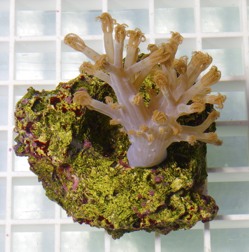 branching-xenia-soft-coral-pink-001