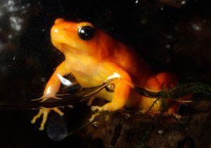 Golden Mantella Frog (Mantella aurantiaca)
