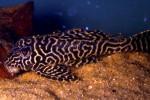 Pleco-Catfish-001