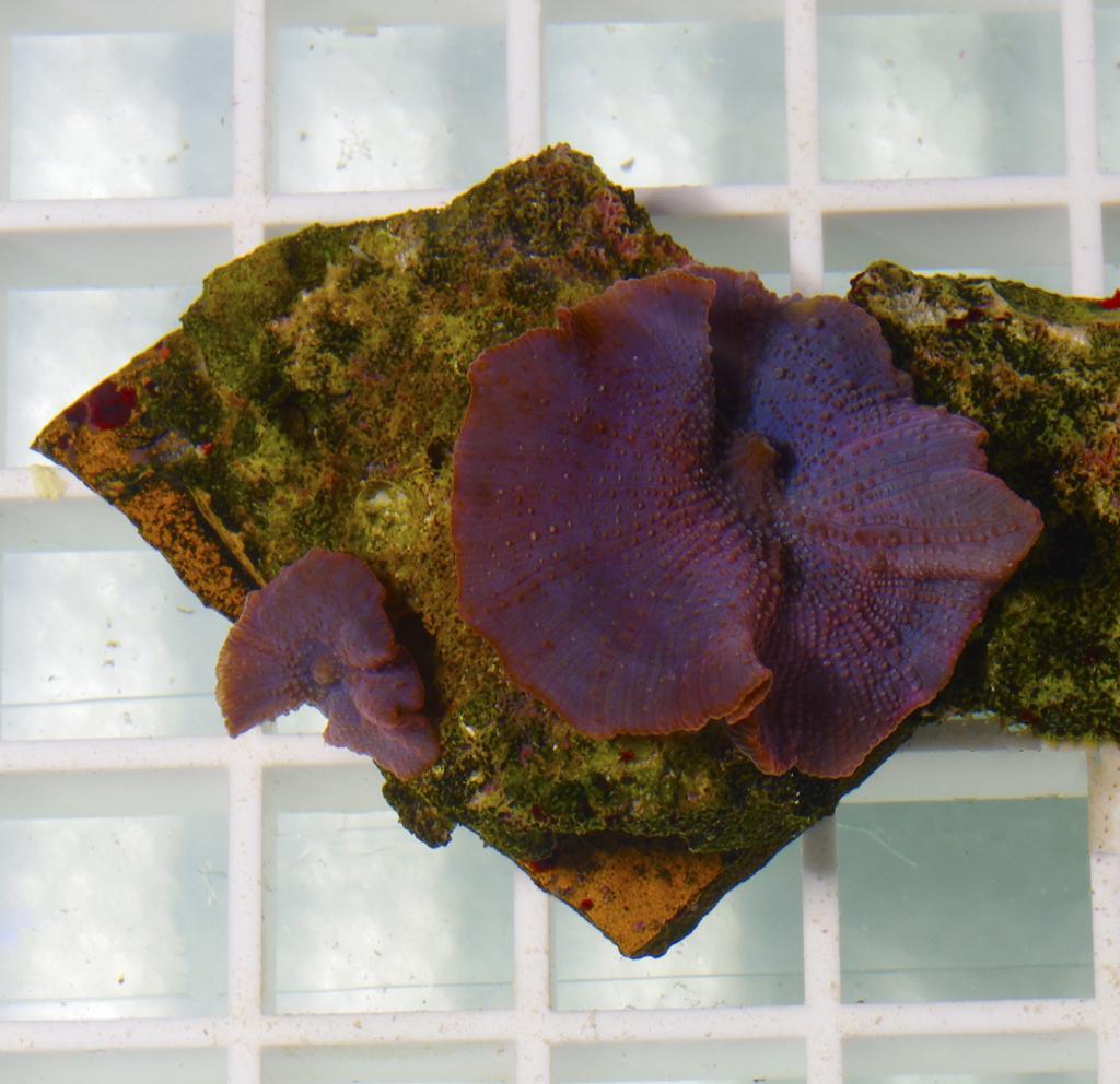 purple-mushroom-coral-discosoma-spp-009