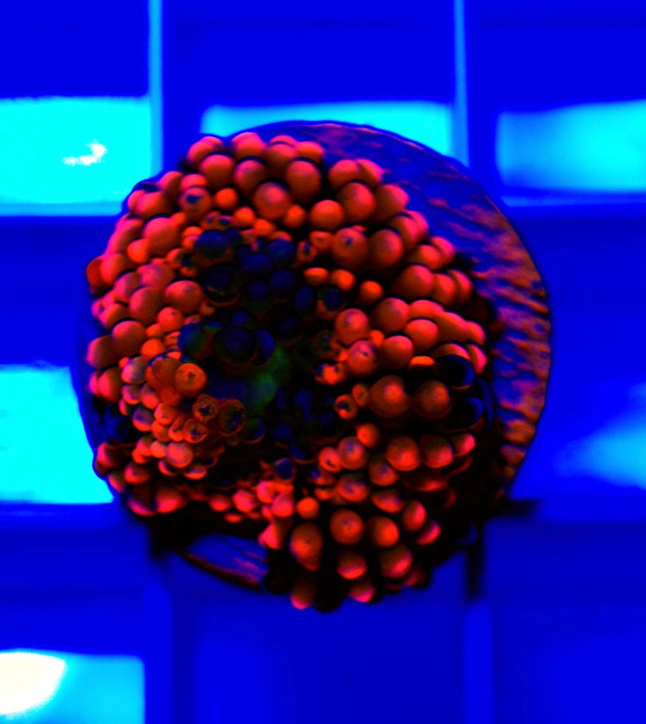 ricordea-coral-frag-001