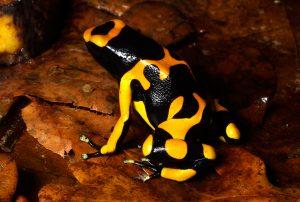 Yellow banded poison dart frog (Dendrobates leucomelas)