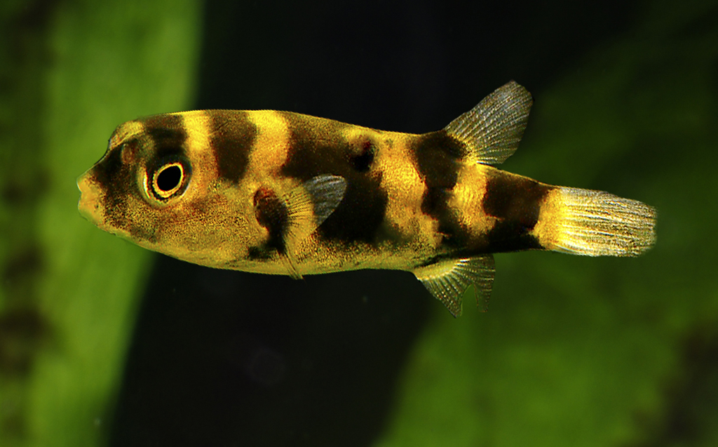 Freshwater aquarium fish uk freshwater tropical fish for Dwarf puffer fish for sale