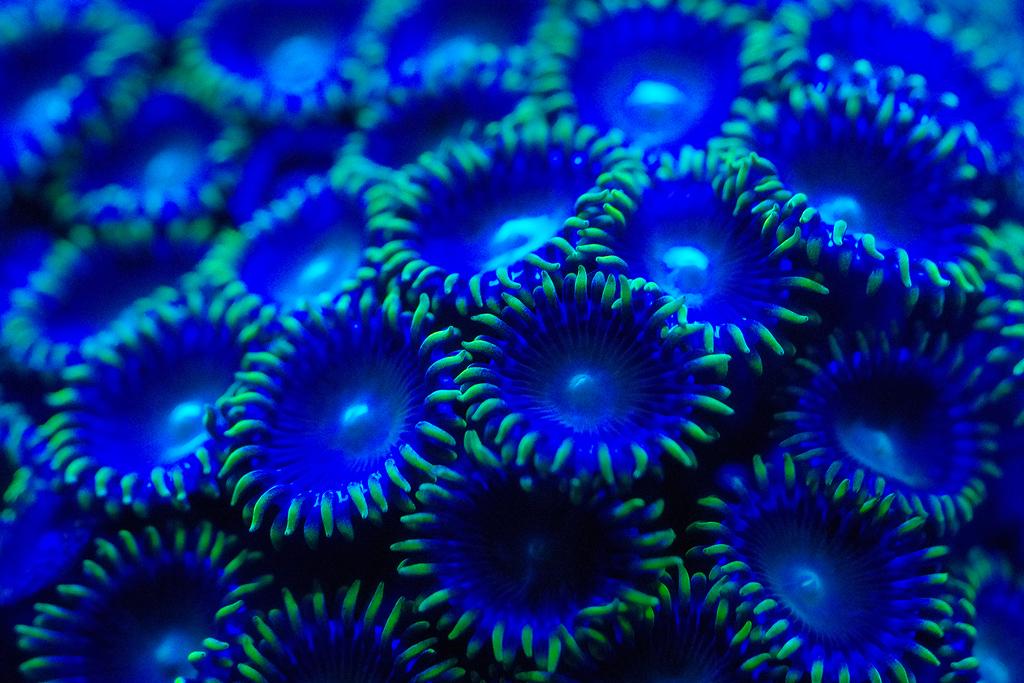 Zoanthus-Corals