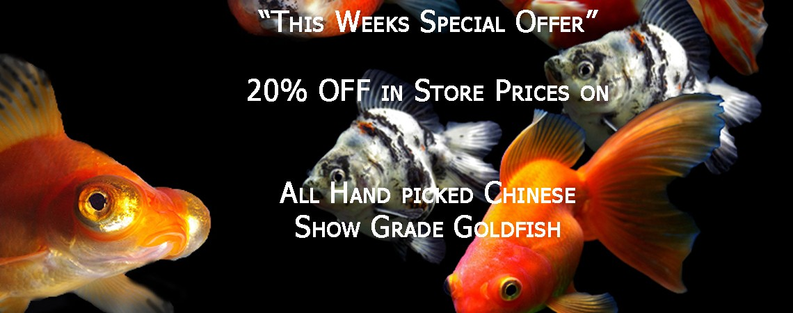 This Weeks Special Offer: 20% OFF Show Grade Fancy Goldfish