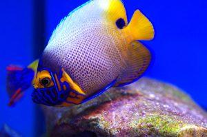 marine angelfish
