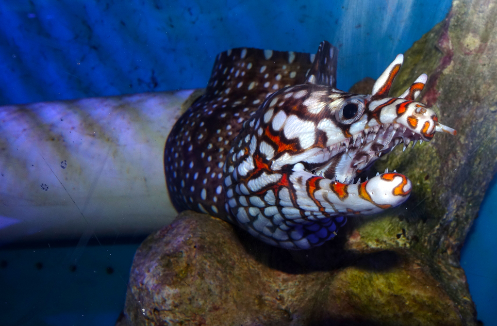 hawaiian-dragon-moray-eel-enchelycore-pardalis-3680