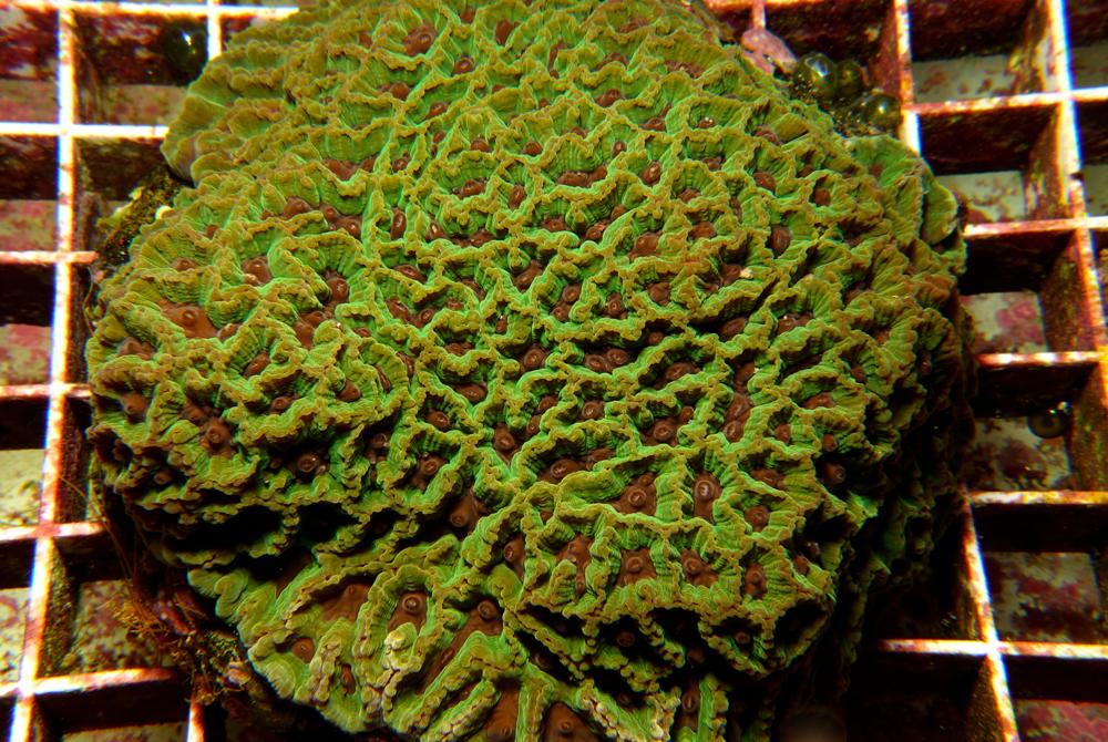 brain-coral-favia-coral-adc-dsc03784