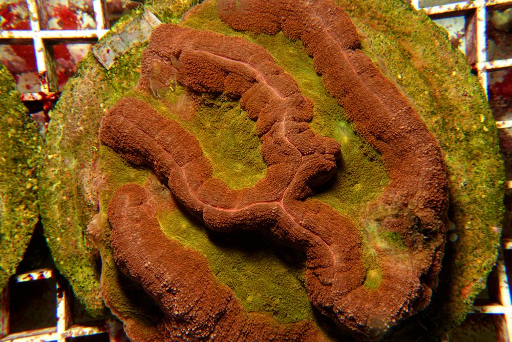 lobophilla-coral-adc-dsc03769