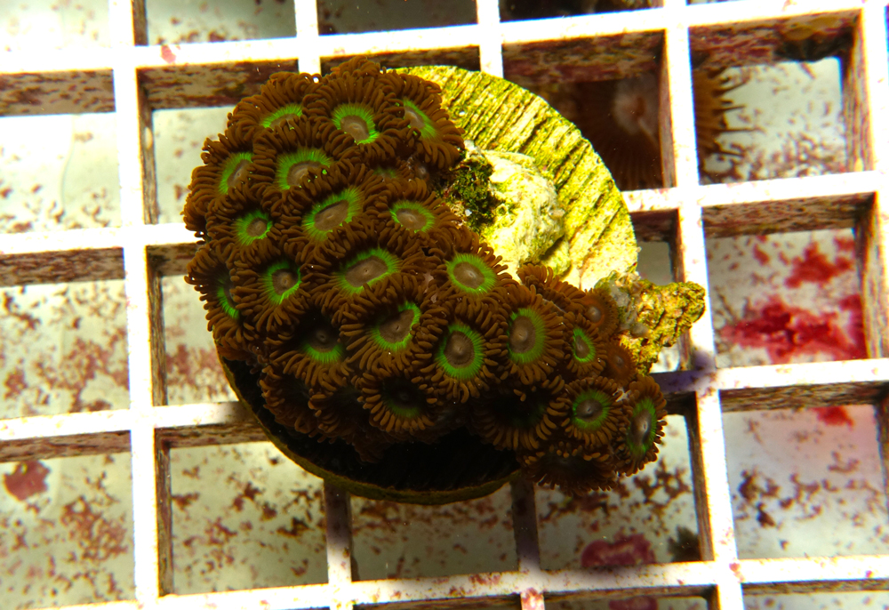 zoanthus-zoo-coral-adc-dsc03765