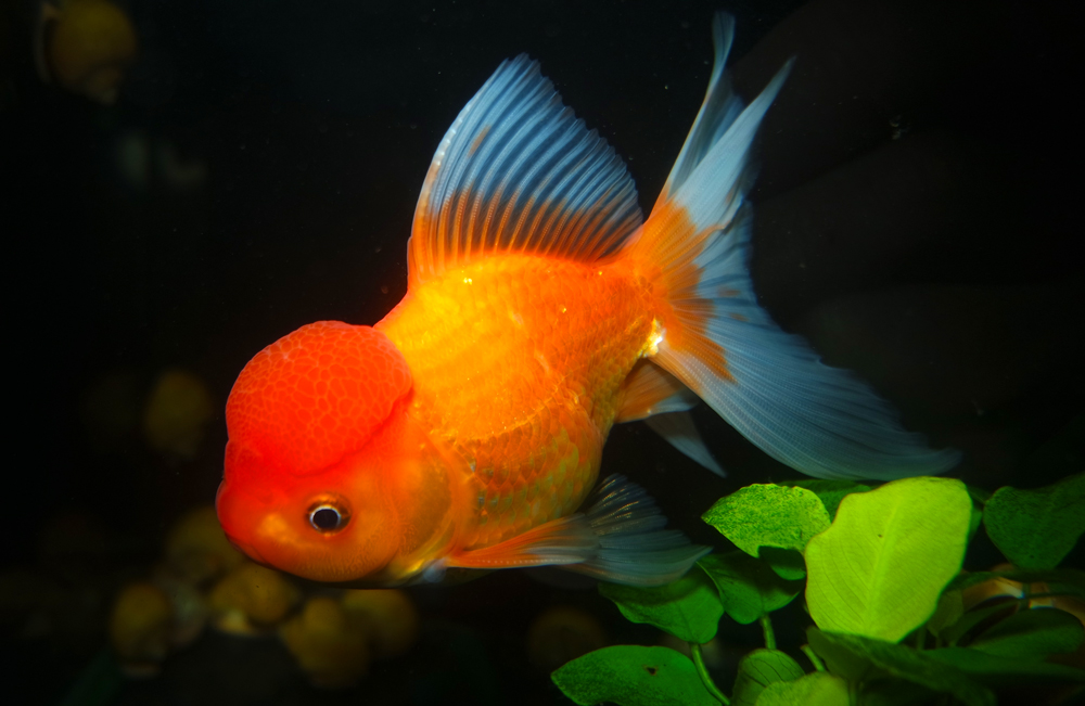 Red and White Oranda