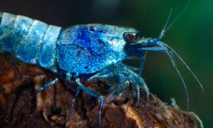 Blue-bolt-freshwater_shrimp