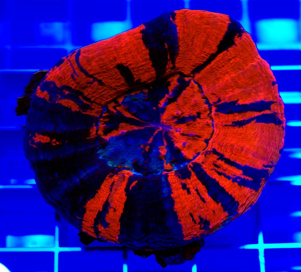 Doughnut Coral-Scolymia australis-004