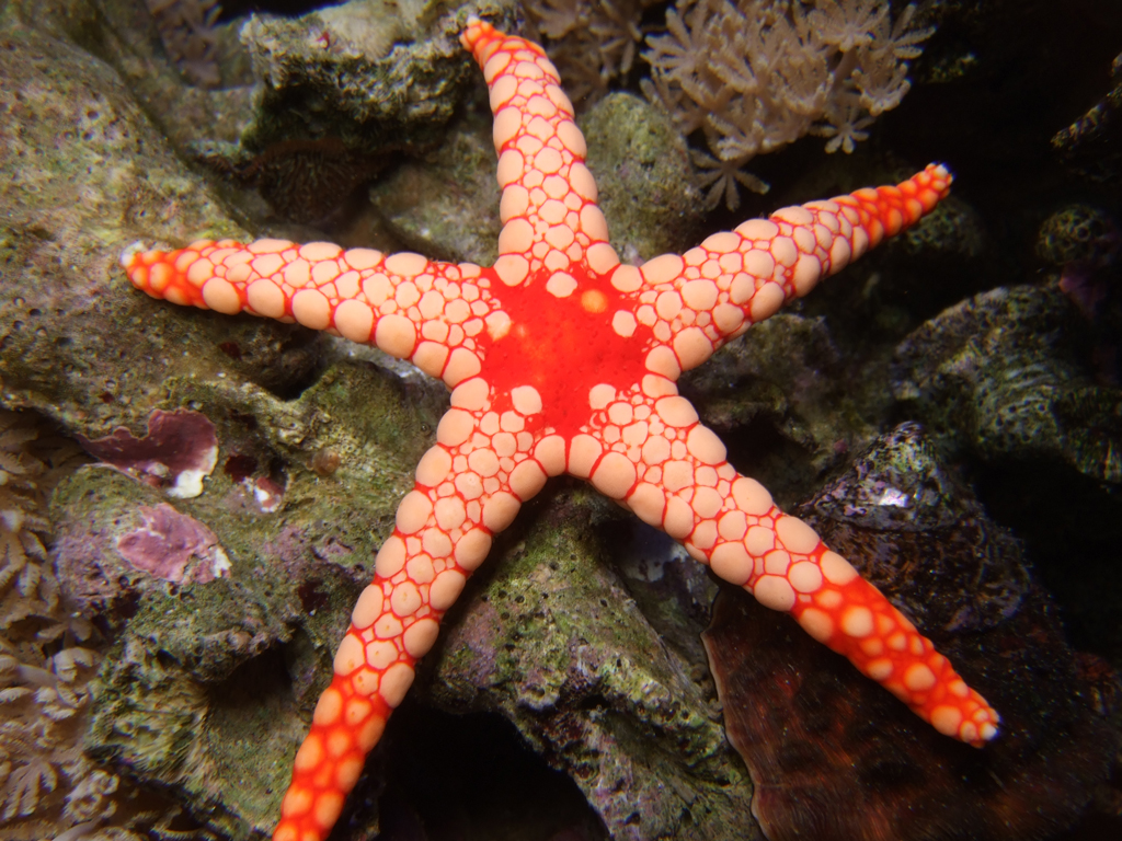 Elegant Sea Star