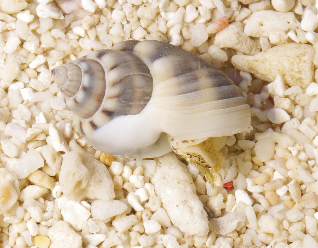 Nassarius Sand Snail