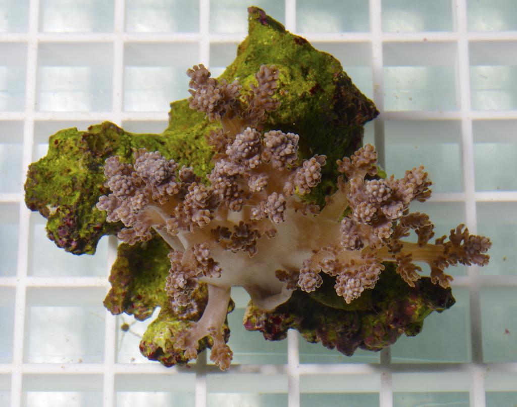 soft-finger-tree-coral-capnella-sp-001