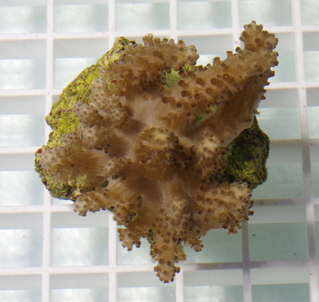 soft-tree-coral-cladiella-sp-003