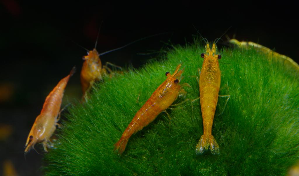 """Yellow Fire Shrimp """"Neocaridina Heteropoda var. Yellow"""""""