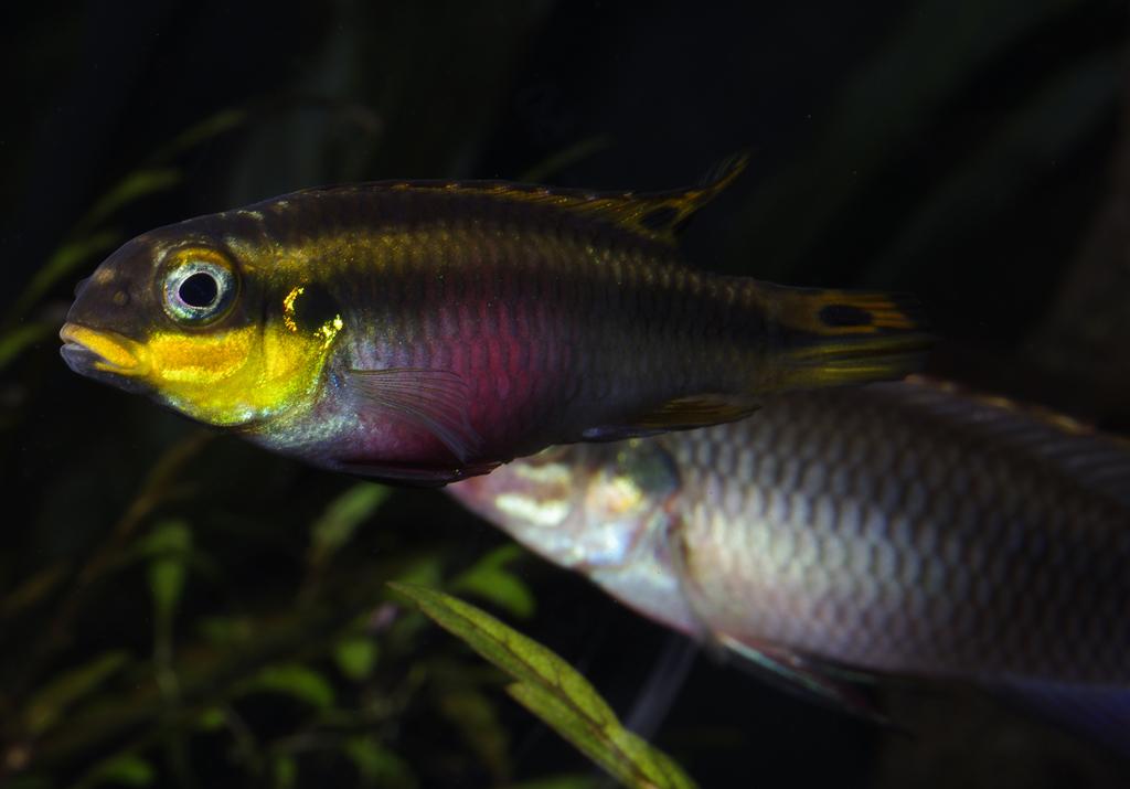African River Cichlids