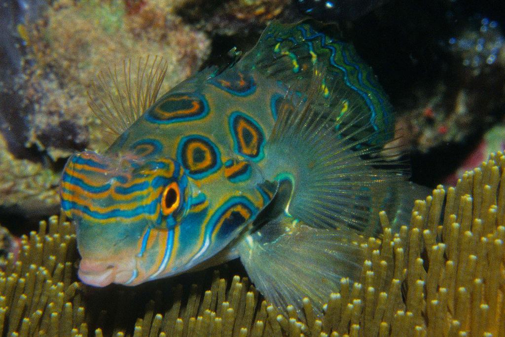 Dragonetfishes