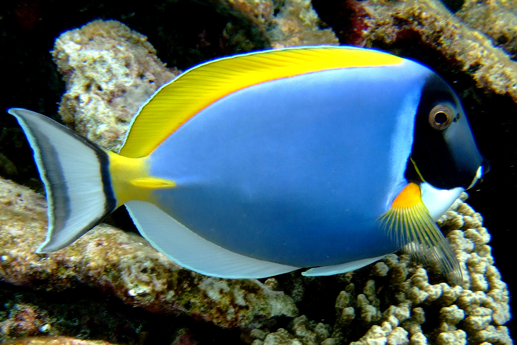 Surgeonfishes & Tangs