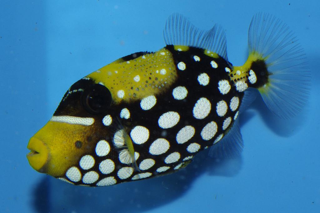 Triggerfishes & Filefish