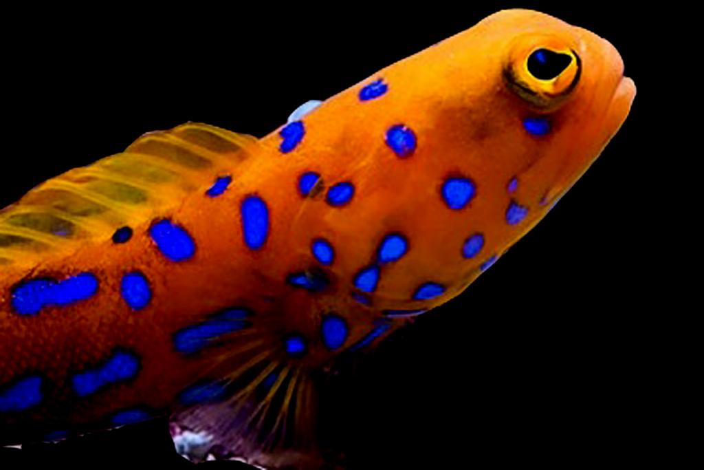 Jawfishes