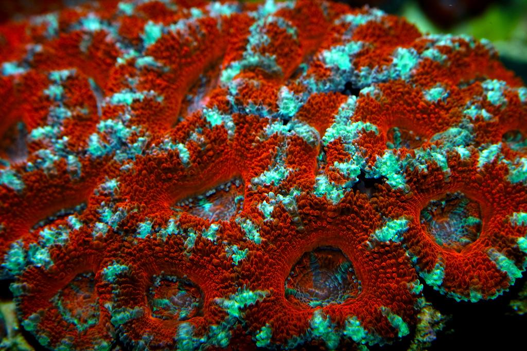 Acan-Brain-Coral_0492