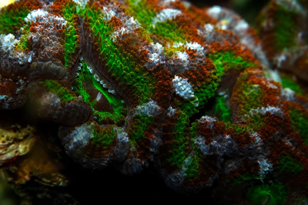 Acan-Brain-Coral_0514