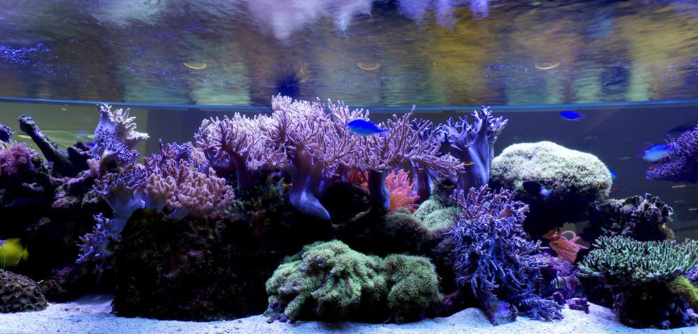 Living Corals