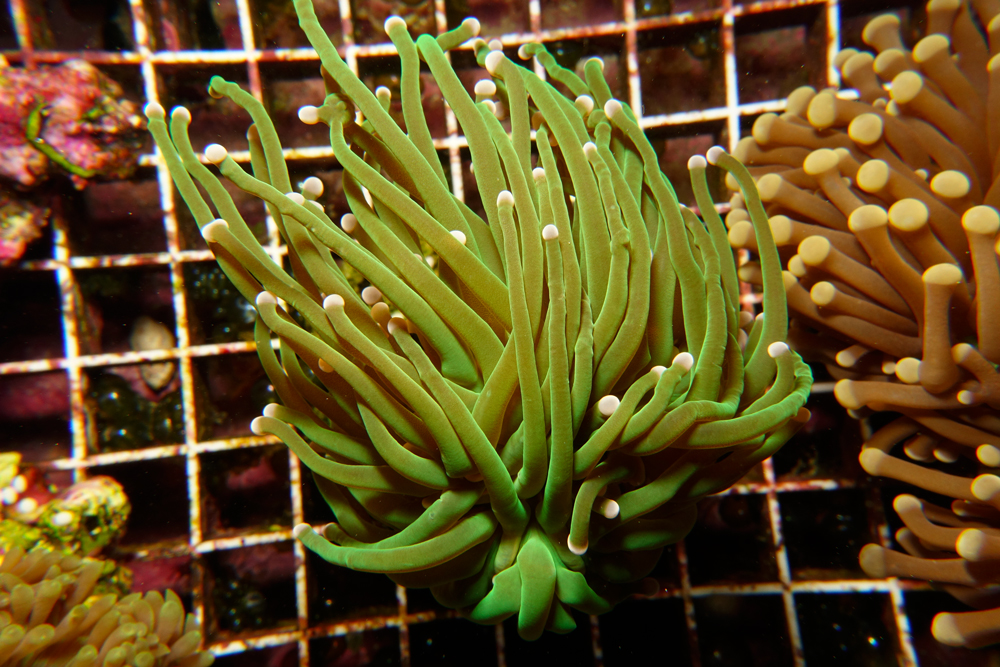 euphyllia-torch-coral-adc-dsc03781