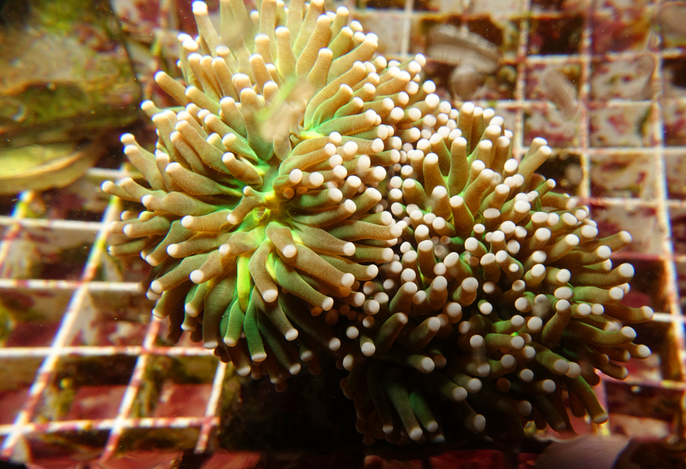 euphyllia-torch-coral-adc-dsc03833